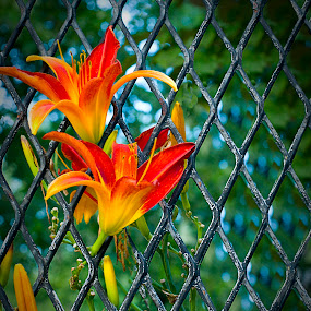 Force of Nature by Vicki Overman - Nature Up Close Flowers - 2011-2013 ( fence, orange flower, day lilly, flowers, lilly, flower )