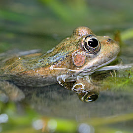 Frog on the water by Gérard CHATENET - Animals Amphibians (  )
