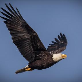 American Bald Eagle by Shutter Bay Photography - Animals Birds ( flight, bird of prey, nature, bald eagle, eagles, birds )