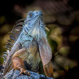 Study #3 Iguana by Heather Allen - Animals Other