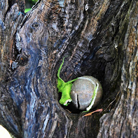 Pregnant Woman. by Marcel Cintalan - Nature Up Close Trees & Bushes ( ball, tree, nature, pregnant, embryo, nature close up, imagination, olive )