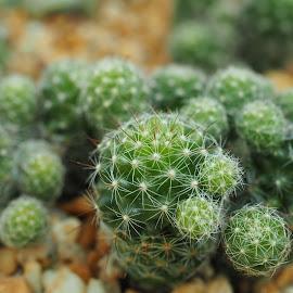 kaktus 01 by Basuni Radi - Nature Up Close Gardens & Produce