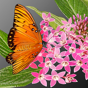 Pink Penta by Joseph Vittek - Nature Up Close Flowers - 2011-2013 ( butterfly, green orange, penta, white, pink, gold, leaf, buds, flower, black,  )