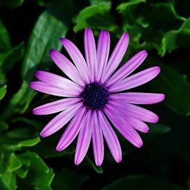 Purple Daisy by Sarah Harding - Novices Only Flowers & Plants ( colour, macro, nature, novices only, flower )