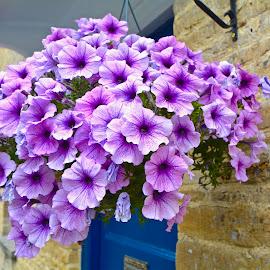 by Victoria Eversole - Flowers Flower Gardens ( village life, english midlands, hanging flower baskets )