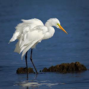 Great-Egret-Fishing-bp.jpg