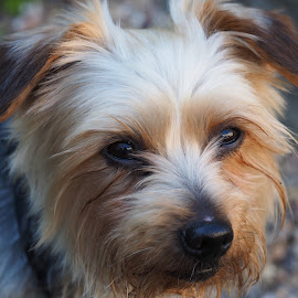 Pip's First Portrait by Gillian James - Animals - Dogs Portraits ( face, yorkshire terrier, dog, nose )