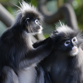 by Bob Stanford - Animals Other ( monkey )