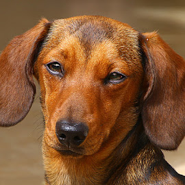 A Star in the Making by Chrissie Barrow - Animals - Dogs Portraits ( smooth, pup, young, portrait, eyes, red, female, pet, dachshund (miniature smooth), ears, fur, puppy, dog, nose, tan, coat )