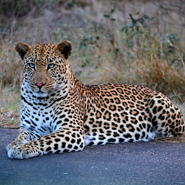 #beautiful #leopard, on the road on our way back to #camp! by Gareth Gamble - Animals Lions, Tigers & Big Cats