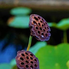 Lotus Seeds by Leah Zisserson - Nature Up Close Other Natural Objects ( water, lotus, georgia, seeds, arboretum, garden, plants.,  )