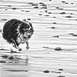 by Kevin Morris - Animals - Dogs Running
