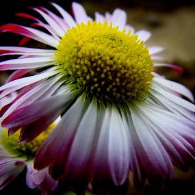 flower by Drazen Jezic - Flowers Single Flower ( flower )