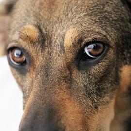 Mira by Carola Mellentin - Animals - Dogs Portraits (  )