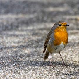Robin by Kellee Wright - Animals Birds ( bird, robin, nature, bird pictures, wildlife )