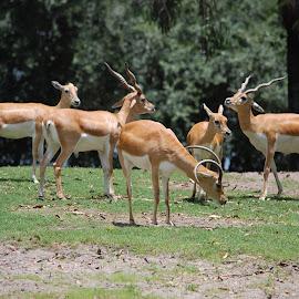 by Keith Heinly - Animals Other Mammals ( grazing, animal kingdom, grass, florida, disney )