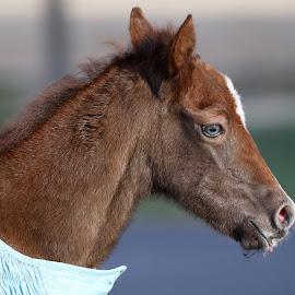 Grey Eyed Beauty by Mike Craig - Animals Horses ( greyeyedcolt )