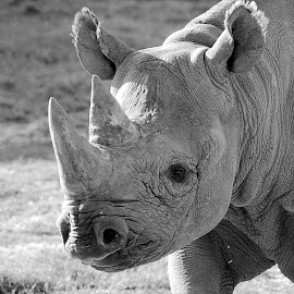 Solo Rhino in mono by Fiona Etkin - Black & White Animals ( pachyderm, horns, nature, black and white, rhino, animal )