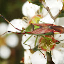 Red & green mirid bug