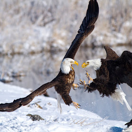 Smack Down by Bryant  Aardema - Animals Birds ( animals, talons, eagle, bird of prey, winter, nature, wildlife, raptor, fighting, eagles, bald eagles, animal )