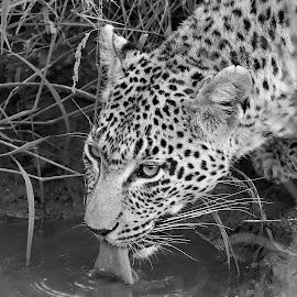 Drinking! by Anthony Goldman - Black & White Animals ( leopard, feline, drinking, predator, londolozi, b & w, female, big cat, water, wildlife,  )