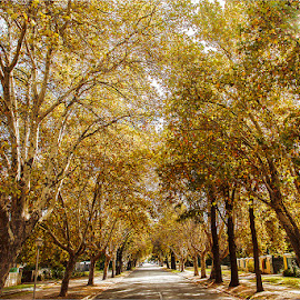 autumn avenue by Maricha Knight van Heerden - City,  Street & Park  Street Scenes ( tree, autumn, avenue, street, fall, tree lined )