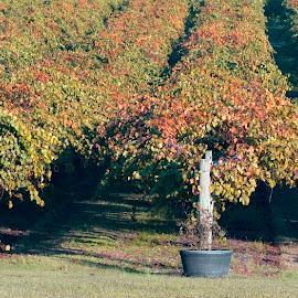 Hinnant Farms Vineyard Fall by Gary Langston Jr. - Nature Up Close Gardens & Produce ( vineyard, grapes, winery, rows )