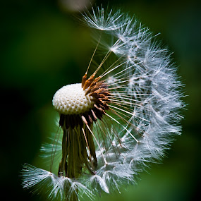 Only half by Eduard Andrica - Nature Up Close Other plants ( plant, dandelion, nature, green, white, summer, close up, flower,  )