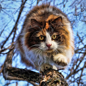 by Jane Bjerkli - Animals - Cats Playing ( cat, pwc76, claws, pwc84, portrait, eyes, playing, climbing, fluffy, tree, pet, tricolor, whiskers, animals in motion, fur, motion, cutest cats, animal,  )