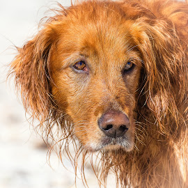 Dog by Dave Lipchen - Animals - Dogs Portraits ( dog )