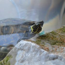Terrapin by Maria Gerolymatou - Animals Amphibians ( terrapin, aquarium, water turtles, turtles, turtle )