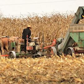 Farming the corn fields  by Anna Tripodi - Animals Horses ( work, farm, field, horse )