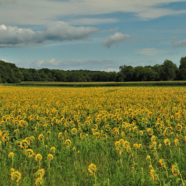 Sunflower Days by Robin Smith - Landscapes Prairies, Meadows & Fields ( nature, summer, landscape, flowers )