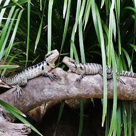 Lizards by Sarah Harding - Novices Only Wildlife ( nature, novices only, wildlife, reptile, animal )