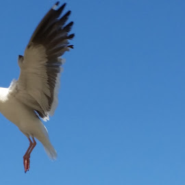 Landing in progress... by Maddy Martinez - Novices Only Wildlife ( bird, flying, seagull, novice, wings, animal )