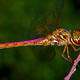 Roseate skimmer by David Winchester - Animals Insects & Spiders