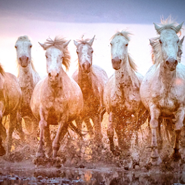 Young Mares in the Marshes by Helen Matten - Animals Horses ( galloping, muddy, mares, wild, horses, marshes, sunset, camargue, white,  )