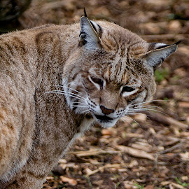 Bobcat Blends With His Surroundings by Janet Marsh - Animals Lions, Tigers & Big Cats ( bobcat, zoo )