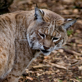 Bobcat Blends With His Surroundings by Janet Marsh - Animals Lions, Tigers & Big Cats ( bobcat, zoo,  )