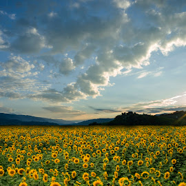 sunflower field by Tomaž Lipovec - Landscapes Sunsets & Sunrises ( field, nature, cloud, sunrise, sunflower field, flowers )