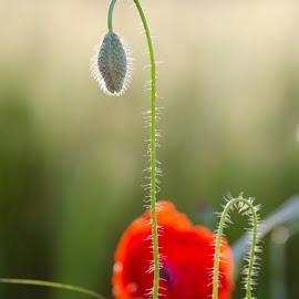 poppy seeds flower by Marino Bobetić - Nature Up Close Other plants ( poppy seeds flower, poppy, seeds, flowerr )