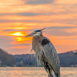 Sun Gazing Heron by Douglas Keck - Animals Birds ( bird, sunset, lake, heron, skies )
