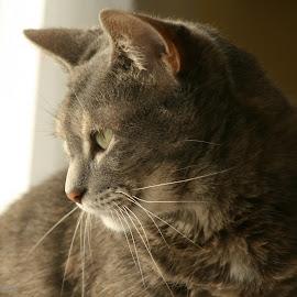 by Eva Pastor - Animals - Cats Portraits ( cat, grey tabby,  )