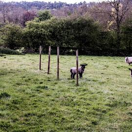 Field of Lambs by Meeta Thakur - Landscapes Prairies, Meadows & Fields ( farm, field, agriculture, lamb, wool )