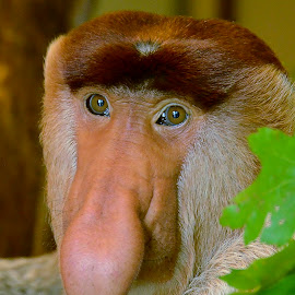 by Wendy Faber - Animals Other Mammals ( proboscis monkey, nose, monkey )