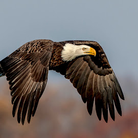 Eagle Fly By by Debbie Quick - Animals Birds ( wild, eagle, wildlife photography, animal photography, elite raptors, bald eagle, wildlife, natures best shots, debbie quick, eagle photography, bird, birds of prey, your best birds, elite worldwide birds, nature, birds of a feather, nature photography, raptor, birds of a feather flock together, bird photography, animal )