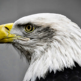 Side Eagle by Heather McDonald - Animals Birds ( eagle, america,  )