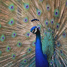 Dancing Peafowl by Arsalan Sandhila - Animals Birds ( nature, dance, birds, peacock, colours )