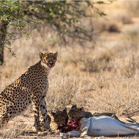 Cheetah and cubs by Brendon Muller - Animals Lions, Tigers & Big Cats ( cheetah, photosbybrendon, kill, wildlife, cubs, africa, kgalagadi )