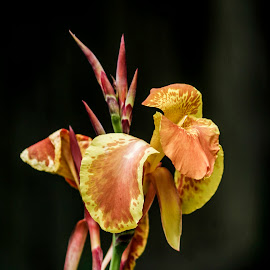 Yellow Canna by Keith Johnston - Nature Up Close Other plants ( plant, orange, lily, colorful, stem, yellow, canna, flower )